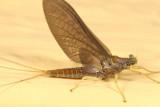 Eurylophella prudentalis (female)