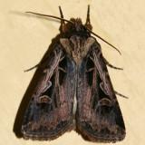 10675 -- Tricose Dart - Feltia tricosa