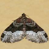 7400.1 - Euphyia intermediata