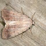 10902 -- Forbes' Dart Moth -- Euagrotis forbesii