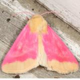 11164 - Primrose Moth - Schinia florida