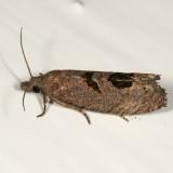 2936 - Aster-head Phaneta Moth - Phaneta tomonana