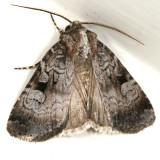 10680 - Knee-joint Dart Moth - Feltia geniculata