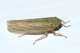 Leafhoppers genus Graminella