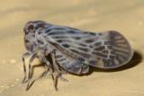 Cedusa maculata