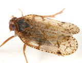 Cixiid Planthoppers - Cixiidae