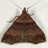8393 - Ambiguous Moth - Lascoria ambigualis