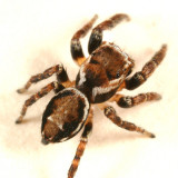 Evarcha hoyi (male)