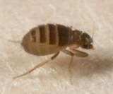 Puliciphora sp.