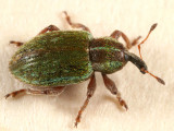 Black-beaked Green Weevil - Hypera nigrirostris