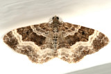 7394 - White-banded Toothed Carpet - Epirrhoe alternata