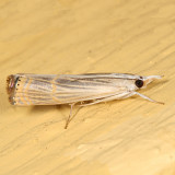 5450 -- Graceful Grass-veneer Moth -- Parapediasia decorella