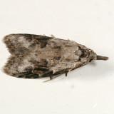 2315 - Carposina fernaldana