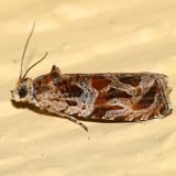2795 - Basswood Olethreutes Moth - Olethreutes tiliana