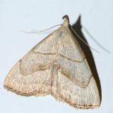 8358 - Brown-lined Owlet Moth - Macrochilo litophora
