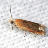 2928 - Reddish Phaneta Moth - Phaneta raracana