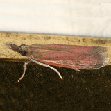 6043 – Peoria bipartitella