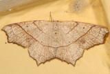 6885 - Oak Besma Moth - Besma quercivoraria