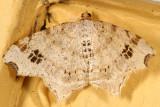 6326 - Common Angle - Macaria aemulataria