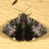 8849 - Gloomy Underwing - Catocala andromedae