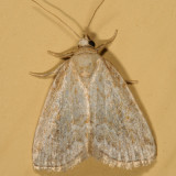9048 - Pale Lithacodia - Lithacodia albidula