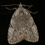 9662 - Many-dotted Appleworm - Balsa malana