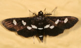 5159 - Grape Leaffolder - Desmia funeralis