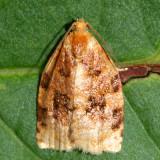 3661 - Ugly-nest Caterpillar Moth - Archips cerasivorana