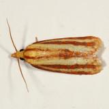 3699 - Three-streaked Sparganothis - Sparganothis tristriata