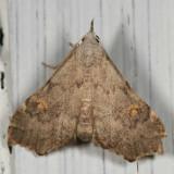8400 - Redectis pygmaea