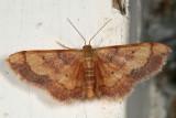 7114 - Red-Bordered Wave Moth - Idaea demissaria