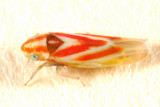 Erythridula plena