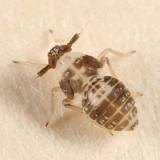 Pissonotus sp.
