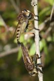 Promachus rufipes