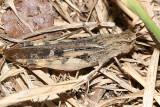Northern Green-striped Grasshopper (Chortophaga viridifasciata)