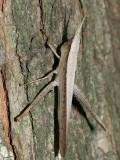 Clipwing Grasshopper - Metaleptea brevicornis