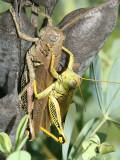Differential Grasshoppers - Melanoplus differentialis