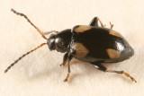 Phyllotreta bipustulata