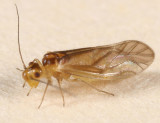 Valenzuela hyperboreus
