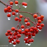 Red Berry Droplets 2