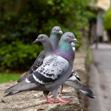 Three Wise Pigeons