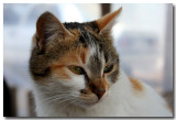 Turkish Cat