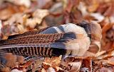 Turkey feathers 465.jpg