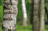 Birches 4808.jpg