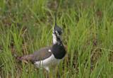 Northern Lapwing - Pavoncella - Kiebitz - Vanellus vanellus