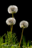 209 - Dandelion Fluffs, With Horsetail