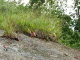 Micro islands of vegetation on the granite bald harboring a colony of pitcher plants