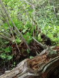 Sarracenia plants growing on the upturned root ball of a fallen tree