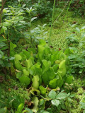 Beautiful group growing in Sphagnum