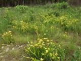 Sarracenia oreophila - another impressive grouping